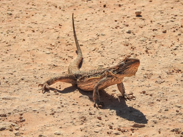 Bearded Dragon - Pogona Barbata