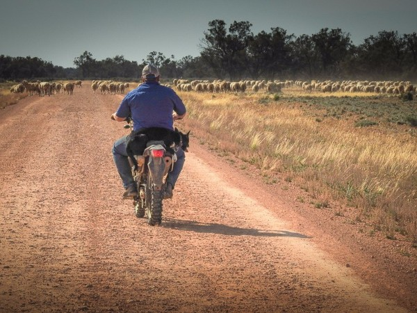 Lake Arumpo Sheep Mustering.