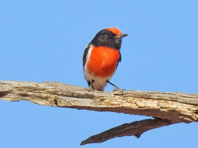 Finally I've spotted a beautiful Red-capped Robin - Mungo National Park