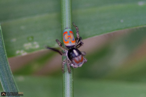 Colourful peacock spider calls Balranald home